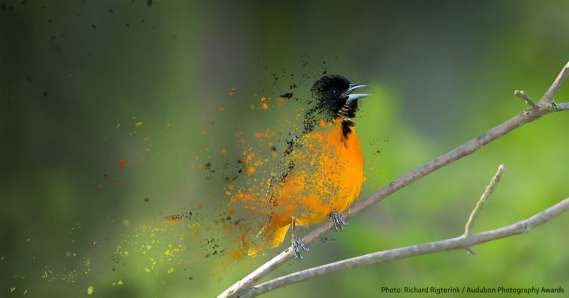 Baltimore Oriole Disintegration